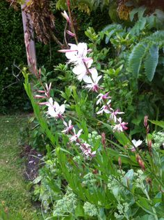 Gaura Lindheimeri. The white one. Very proud of this as I grew it from seed. Slugs seem to be ignoring this year's seedlings recently planted out.
