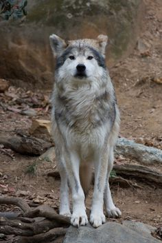 Picture by Evan - The world of wolves