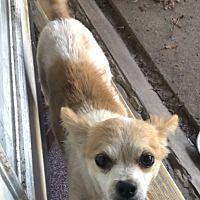 Garland Texas Chihuahua Meet Pancho A For Adoption Https Www Adoptapet Com Pet 29009881 Garland Texas Ch In 2020 Chihuahua Chihuahuas For Adoption Pet Adoption