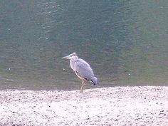 Heron at Loch Earn