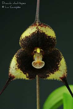An alarming orchid in black and yellow. Exotic Plants, Exotic Flowers, Amazing Flowers, Love Flowers, Monkey Orchid, Ghost Orchid, Dark Beauty Magazine, Orchidaceae, Black Orchid