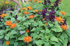Tithonia rotundifolia Annual Plants, Zinnias, Perennials, Herbs, Image, Archive, Garden, Summer, Party