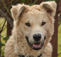 Clover von Copperfield is an adoptable Great Pyrenees Dog in Los Angeles, CA. Clover von Copperfield is a delightful 12 month old fuzzy mix boy. Each volunteer has a different idea of what Clover is mix...