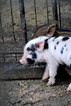 a super cute baby pig that will not grow up.