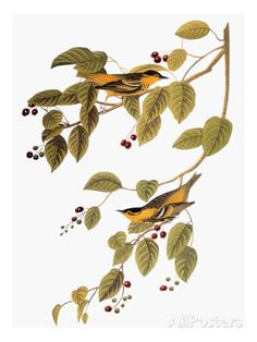 Audubon: Warbler Prints by John James Audubon at AllPosters.com