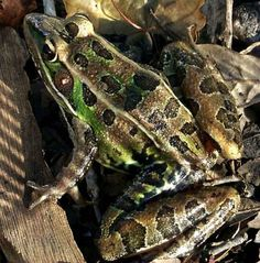 The Southern Leopard Frog (Lithobates sphenocephalus) is a species of mostly aquatic true frog, found in the south-eastern third of the United States. There are two accepted subspecies.