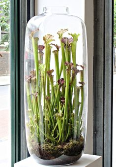 pitcher plant perfection - a beautiful addition to a waiting room!
