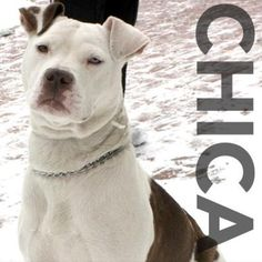 Chica likes the snow! Perfect for ROC! She has 2 different colored eyes. Meet her at 184 Verona St.