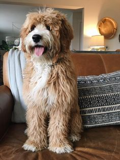 Labradoodle - Doodles at Home - The Inspired Room Bernedoodle Puppy, Goldendoodles, Cavapoo, Cute Puppies, Dogs And Puppies, Baby Animals, Cute Animals, Australian Labradoodle, Puppy Pictures