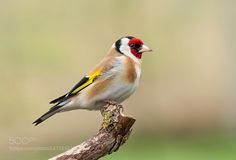 superbnature: European Goldfinch by frank742... - Blue Passions