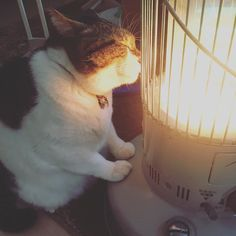 Busao cat falling in love with heater