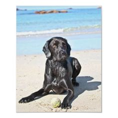 Black Lab Sitting on the Beach | http://www.zazzle.com/black_labrador_dog_sitting_on_the_beach_poster-228502801649104742?size=%5B24.0000%2C30.0000%5D=value_posterpaper_matte=114445276501626923=113381087925757000=0.8=prophoto=238706427652551388