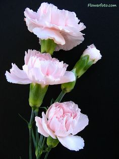 carnation flower. Just planted these. Great cut flowers