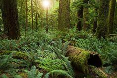 Al igual que otros bosques de árboles gigantes en Norteamérica, #Cathedral #Grove es una reliquia de un hermoso pasado donde extensos ecosistemas eran dominados por estos colosos centenarios, muchos siglos antes de la colonización y la tala industrial. El vestigio de un antiguo bosque de abetos de Douglas en la isla de #Vancouver, en la Columbia Británica de Canadá.