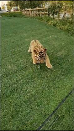Cute Wild Animals, Animals Beautiful, Funny Animals, Big Cats, Cute Cats, Animal Pictures, Cute Babies, Cute Creatures, Wildlife
