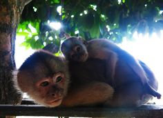 Monkeys in the Amazon l Peruvian Rainforest l Iquitos, Peru l @tbproject