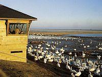 WWT Welney nature reserve in West Norfolk