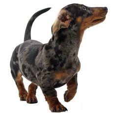 dapple dachshund puppy, so cute!