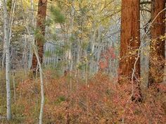 """Into the Woods for Fall Color (Eastern Sierras)"" by Joanne Hihn has been entered into June's Featured Artist Contest. Go here to vote: http://woobox.com/ttypv8"