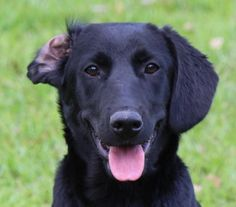 Harper is an adoptable Labrador Retriever searching for a forever family near Deerfield, NH. Use Petfinder to find adoptable pets in your area.