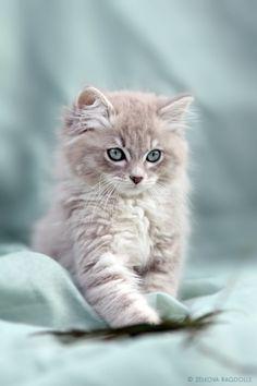 Fluffy blue-eyed ragdoll kitten