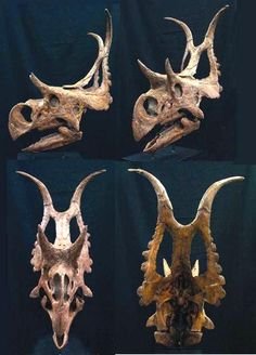 Diabloceratops is my favorite dinosaur. It's name means Devil Horned Head. Discovered in southern Utah in 2002.