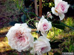 Priscilla's Rose