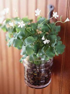 Mason jars with shamrock plants