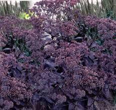 black jack sedum - Google Search Best Perennials, Autumn Garden, Plants, Succulents, Growing Succulents, Sedum, Purple Plants, Flower Garden Design, Native Plant Gardening