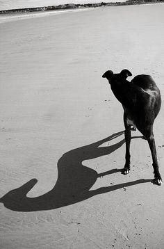 Доги Photography Tattoo, Animal Photography, Image Photography, White Photography, Greyhound Art, Italian Greyhound, Photo Animaliere, Grey Hound Dog, Fauna