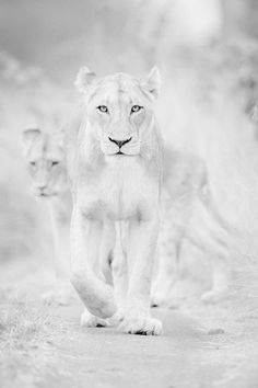 85 best lion anatomy images in 2019 Beautiful Cats, Animals Beautiful, Wildlife Photography, Animal Photography, Shades Of White, Black And White, Pure White, Animals And Pets, Cute Animals
