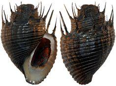 Thiara cancellata, a freshwater gastropod of the family Thiaridae.