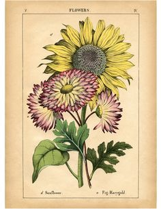 Vintage Sunflower Printable from The Graphics Fairy