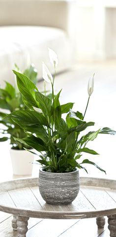 Fredsliljen er en smuk, grøn plante, som udmærker sig ved at være skyggetålende. #fredslilje #grønnestueplanter #grønneplanter #skyggetålendeplanter #plantertilskyggen #stueplanter #nemmeplanter #spathiphyllum #indoorplant #houseplant #plantorama