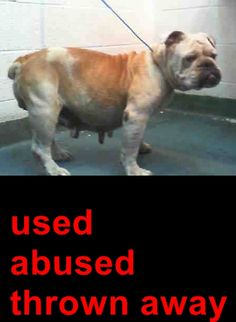 CHULA (A1676963) I am a female tan and white English Bulldog. The shelter staff think I am about 4 years old. I was found as a stray and I may be available for adoption on 02/07/2015. — hier: Miami Dade County Animal Services. https://www.facebook.com/urgentdogsofmiami/photos/pb.191859757515102.-2207520000.1422832092./921256681242069/?type=3&theater