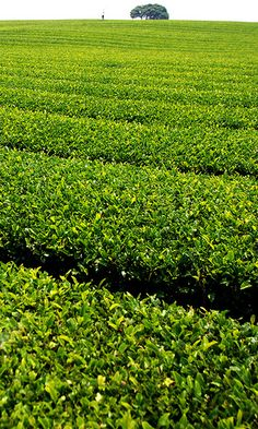 Green tea farm by Floridapfe. #TeaField #TeaGarden