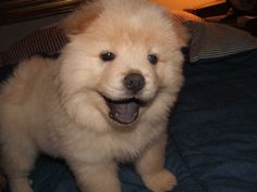 Cream Chow Chow Puppies Pictures
