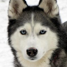 Gone to the Snow Dogs (Husky)