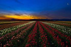 Tulip Festival Woodburn Oregon | Wooden Shoe Tulip Festival (Woodburn, Oregon) By Roman Johnston