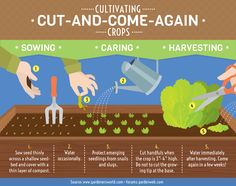 Cut and Come Again Crops: Steps of Cultivation