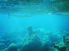 Barracuda on the Great Barrier Reef in Australia!!! #barracuda #greatbarrierreef #australia #marinelife #marinebiology #fish #ocean #vacation #travel #travelgram #igers #igdaily #explore #wanderlust #snorkeling #coral #reef #coralreef #luxurylife #luxurytravel #luxuryhotel #swimming by jessdrifts http://ift.tt/1UokkV2