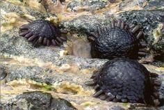helmet urchin, photo via: saltaquarium.about.com