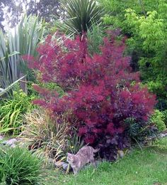 Cotinus cogryggia.  can grow to small tree.   Google Image Result for http://www.mooseyscountrygarden.com/shrubs/smoke-bush-border.jpg