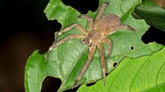 A U.K. woman says she found a Brazilian wandering spider in a her groceries.