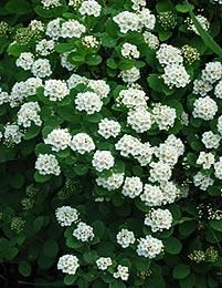 Climbing Hydrangea Seeds Hydrangea Flowers seed Bonsai plant Viburnum Real Seed and High Quality Brand Name:Panago Product Type:Bonsai Climate:Temperate Classification:Happy Farm Style:Perennial Full-bloom Period:Summer Flowerp. Hydrangea Seeds, Hydrangea Flower, Tiny White Flowers, Large Flowers, Evergreen Shrubs, Trees And Shrubs, Garden Shrubs, Garden Plants, Sleepers In Garden