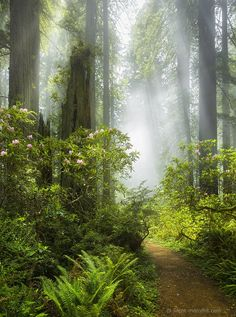 Rhododendron Trail - Redwood National Park (California)