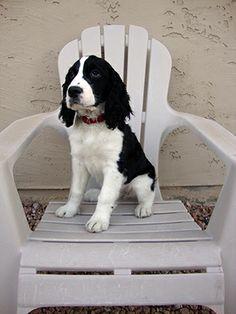 English Springer Spaniel black and white at 13 weeks
