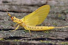 Yellow Drake Mayfly, makes for a great days sapping on lough mask Ireland