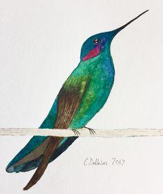 Mexican Violetear (Colibri thalassinus)