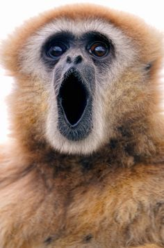 This is actually a Gibbon Monkey calling out -- it is NOT a Howler Monkey. (by Tambako the Jaguar) Primates, Mammals, Rare Animals, Animals And Pets, Beautiful Creatures, Animals Beautiful, Photo Animaliere, Ape Monkey, Baboon